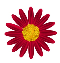 Red Daisy Flower on A White Background vector image