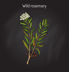 Wild rosemary or rhododendron tomentosum vector
