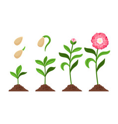 pink flower growth process icons vector image vector image