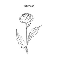 Artichoke thistle hand drawn botanical vector