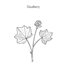 cloudberry wild berries collection vector image
