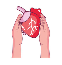 heart organ to blood circulation in the hands vector image