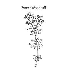 Sweet woodruff galium odoratum medicinal plant vector