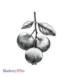 blueberry hand drawing black and white vector image