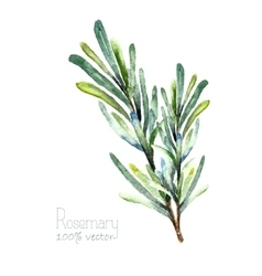 Watercolor rosemary vector