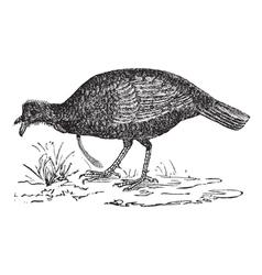 Wild turkey vintage engraving vector