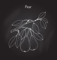 Pear branch with fruit pyrus communis  or vector