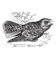 Chuck wills widow engraving vector image vector image