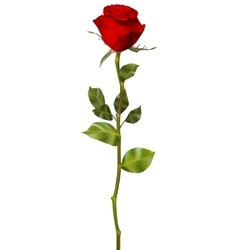 Red rose isolated on white eps 10 vector