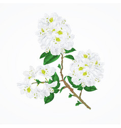 Twig white rhododendron vintage vector