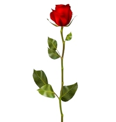 Realistic red rose eps 10 vector