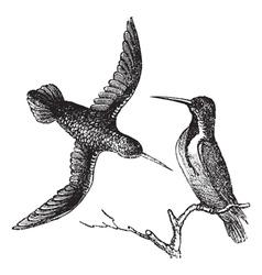 Jamaican Mango vintage engraving vector image vector image