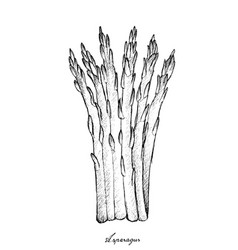 Hand drawn of fresh green asparagus on white backg vector