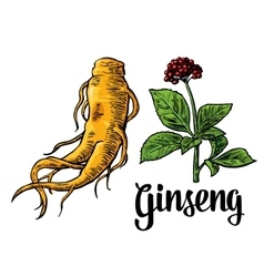 Root and leaves panax ginseng colorful vector image vector image