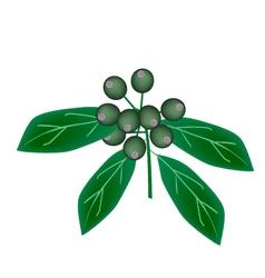 Rubiaceae fruit or ixora fruit on tree vector
