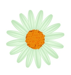 Green daisy flower on a white background vector