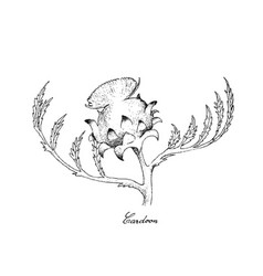 Hand drawn of fresh cardoon flower on white backgr vector