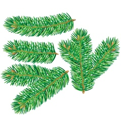 Branch of spruce vector image
