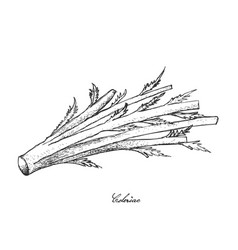 Hand drawn of fresh celeriac on white background vector