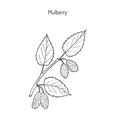 Mulberry morus nigra or black mulberry or vector
