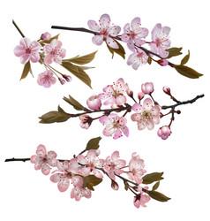 Sakura flowers background vector