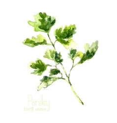 Watercolor branch of parsley vector image