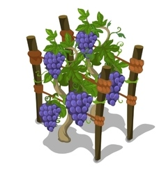 Planting and cultivation of grape vector