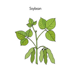 soybean hand drawn vector image