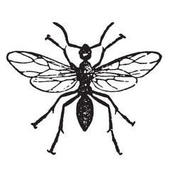 Horse ant male vintage vector