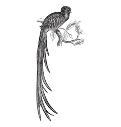 Resplendent quetzal engraving vector