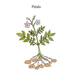 Potato plant hand drawn vector