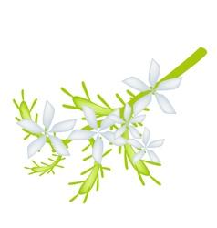 Cape leadwort flower or white plumbago flower vector