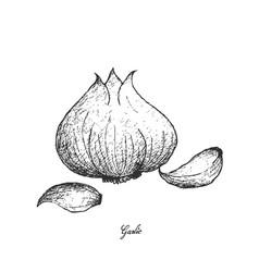 Hand drawn of garlic on white background vector