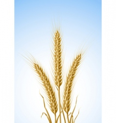 yellow ears of wheat vector image