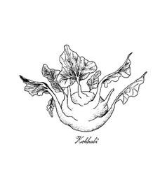 Hand drawn of fresh kohlrabi on white background vector