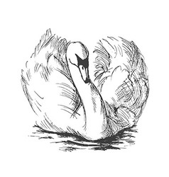 Hand sketch floating swans vector