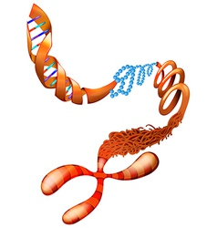 DNA chromosome vector image