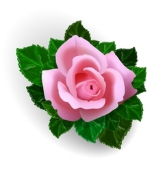 Rose flower vector image vector image