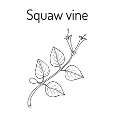 Squaw vine mitchella repens or partridge berry vector