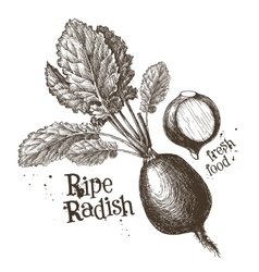 radishes radish logo design template vector image vector image