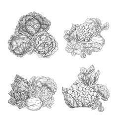 Cabbage vegetable and lettuce salad leaf sketch vector