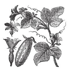 Cucumber vintage engraving vector
