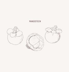 set of hand drawn mangosteen tropical fruit fresh vector image