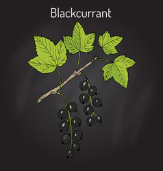 Blackcurrant ribes nigrum vector