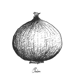 Hand drawn of fresh yellow onion on white backgrou vector