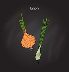 Hand drawn onion vector