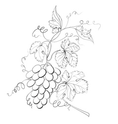 Grapes engraving vector