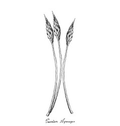 Hand drawn of prussian asparagus on white backgrou vector