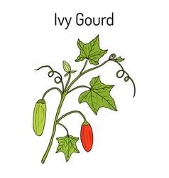 Ivy gourd coccinia grandis or kowai medicinal vector