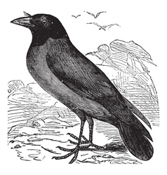 Hooded crow vintage engraving vector